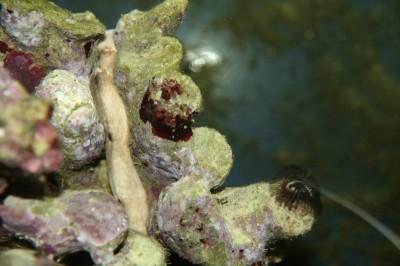 Cryptoplax larvaeformis