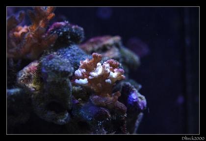 seriatopora-caliendrum
